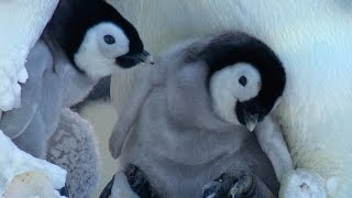 Cute Penguin Snow Chick learns to Stick Up for Himself! - Kate Winslet