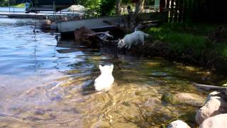 Westie Swimming In The Lake.mp4