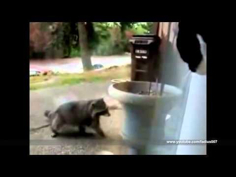 Видео прикол: еноты тоже бывают очень смешными