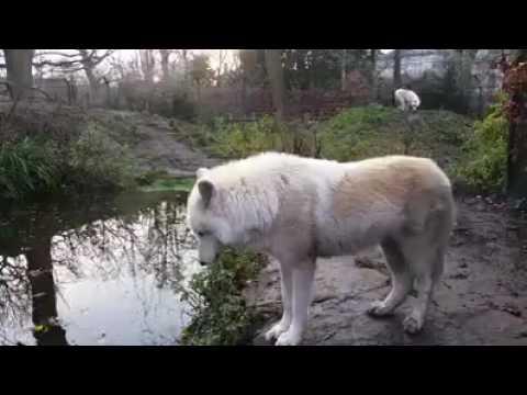Ağ canavar( beyaz kurt)