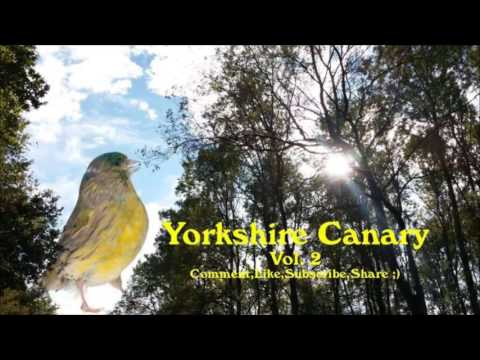 Download Lagu Suara Burung Kenari Yorkshire Speed Rapat Isian Kombinasi Blackthroath Tembakan Ciblek