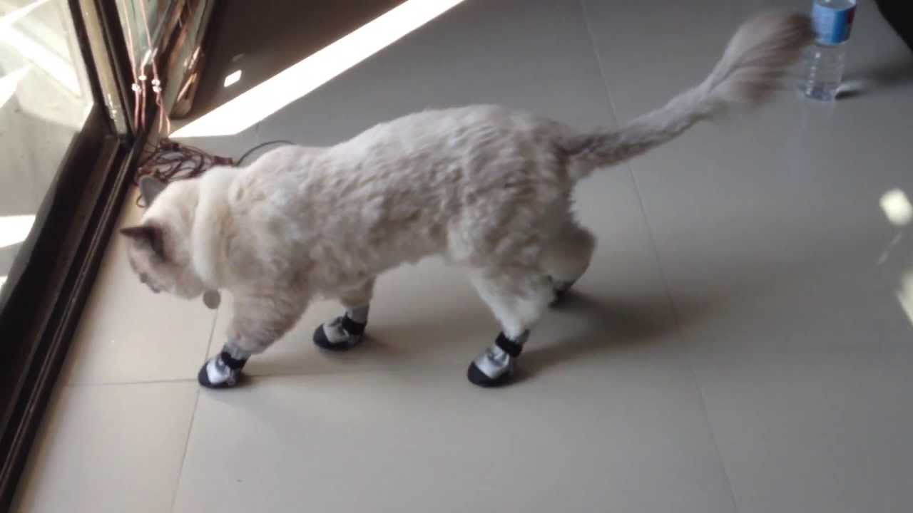 Cat gets new shoes and cant walk !