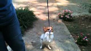 Papillon (tyler) On A Leash