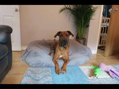 Nala - Rhodesian Ridgeback - 4 Weeks Residential Dog Training