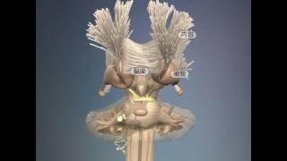 大脳基底核と大脳の白質