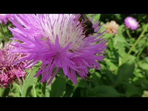 Неприхотливые и Красивые Цветы Захватчики. Иметь или не иметь?