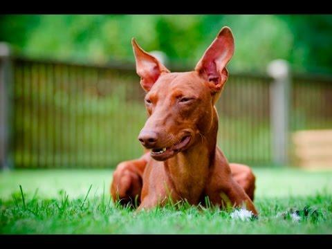 Cirneco dell Etna - Dog Breed