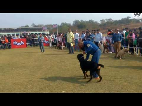 Bhopal Dog Show   Group2 Judging   22nd Jan 2017   Dogs99.com