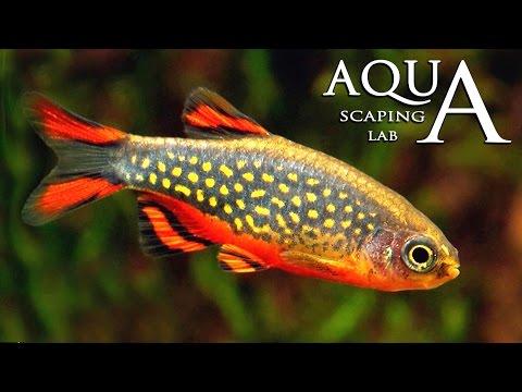 Aquascaping Lab - Danio Margaritatus, Celestial Pearl Danio description / Microrasbora Galaxy info