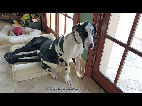Patient Great Dane Puts Up With Huge Puppy Sitting On Her Head