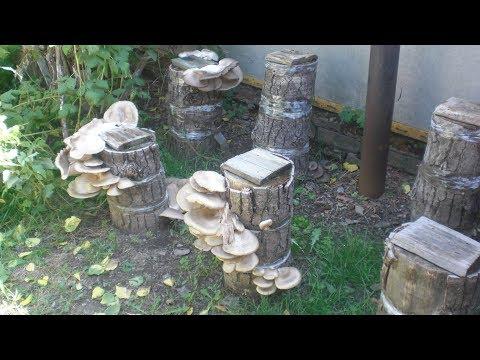 Вырастить грибы вешенки на пнях. Результат виден на фото к ролику !!!