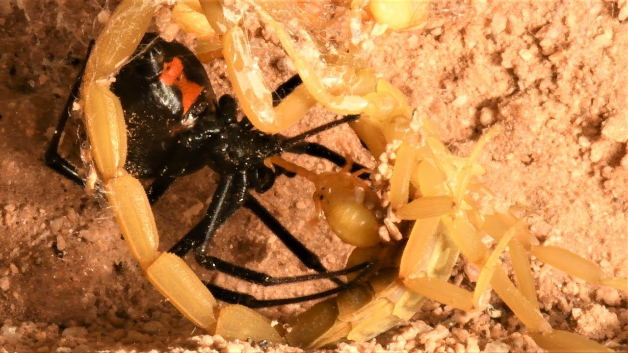 Black Widow Captures Scorpion and Babies for Prey (may be disturbing to some viewers)