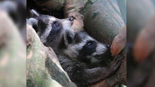 Zoo-Mitarbeiter besucht Waschbären - er macht einen unglaublichen Fund