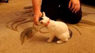 Как одеть ошейник на кошку