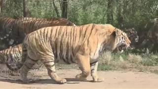 西伯利亞虎群圍車要肉吃 Siberian tigers surround the car