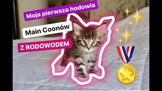 DOMOWA HODOWLA MAINE COONA