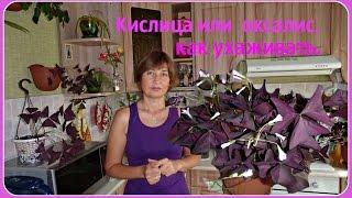 Кислица (оксалис). Как я ухаживаю за кислицей.  Других комнатные  растения.(Кислица (оксались) - совсем не прихотливый цветок. Уход простой и не сложный. Размножение клубнями. Цветет..., 2015-07-14T13:21:59.000Z)