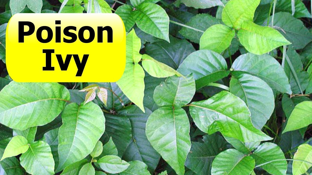Poison Ivy Vine On A Tree Live Life Diy