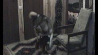 Прикольные игры собак: цвергшнауцер и маламут.avi