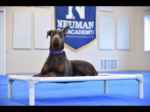 Hazel (Doberman Pinscher) Boot Camp Dog Training Video Demonstration