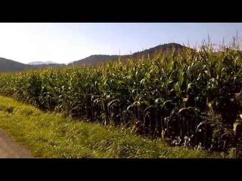 Chasse Aux Sangliers Dans Les Maïs