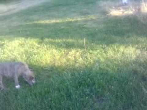 Kougar dans sa promenade quotidienne