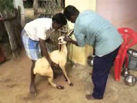 how to get lamb disease