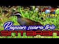 Rayuan Suara Trio Sintaran  Paling Ampuh  Mp3 - Mp4 Download