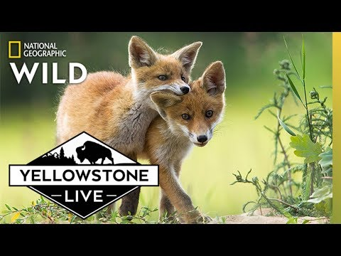 See Foxes LIVE in Yellowstone | Yellowstone Live