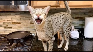 Big Savannah Cat Has The Cutest Meows/ Cat Meow/ Cute Cat Video