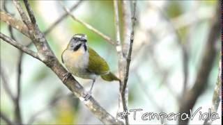 CANTO DO TEMPERA VIOLA   Buff throated S...
