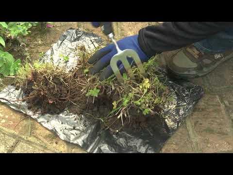 Dividing herbaceous perennials