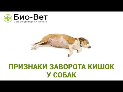Признаки заворота кишок у собак. Лечение. Ветеринарная клиника Био-Вет.