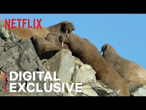 SHROOM - Netflix Under Fire After Showing Walruses Falling To Their Deaths [Video]