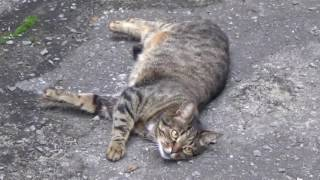 Забавный полосатый кот Породы полосатых кошек