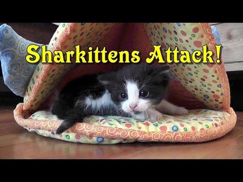 Sharkittens Attack!