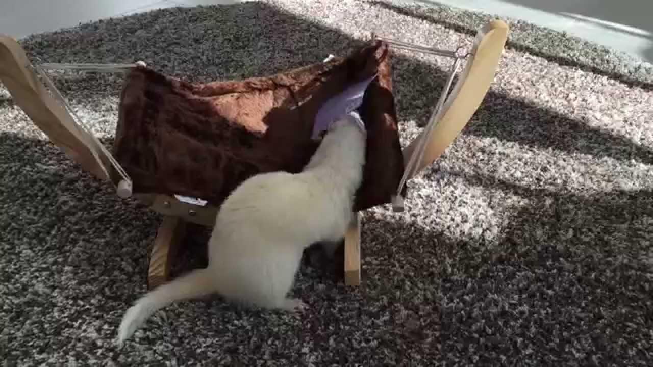 Ferret and hammock