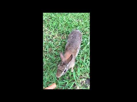 Taming a wild cottontail rabbit