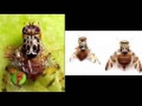 C mo combatir la mosca de la fruta tvagro por juan - Como combatir las moscas ...
