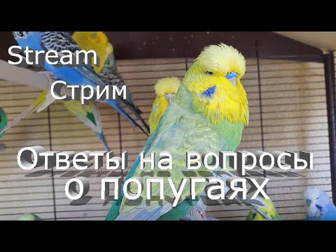 Вопрос: Волнистый попугай во время чистки перьев чирикает, что это означает?