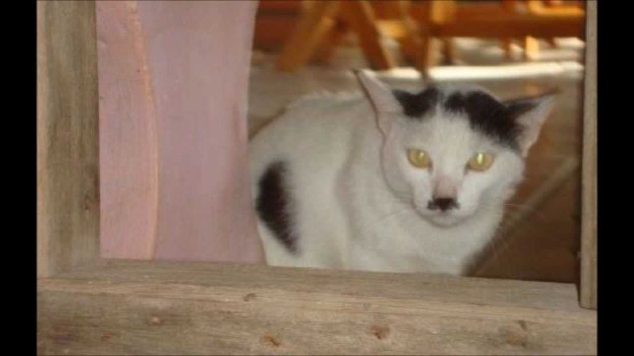 Cats That Look Like Hitler Youtube
