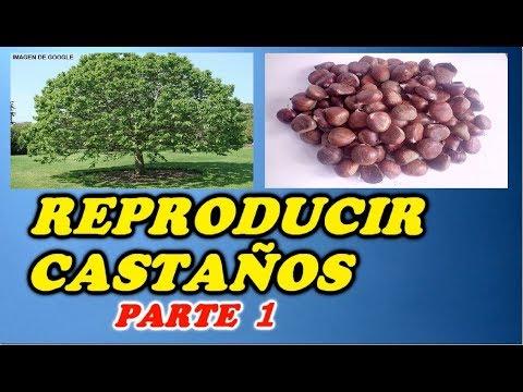 Como Reproducir Castaños Por Su Fruto -1ª PARTE