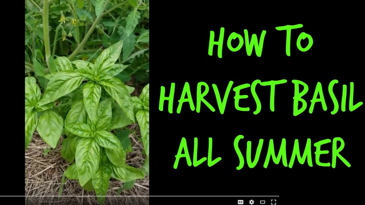 How to Harvest Basil Leaves all Summer - YouTube