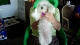 Irish Step Dancing Poodle