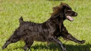 Спаниель Бойкина (Spaniel). Породы собак (Dog Breed)