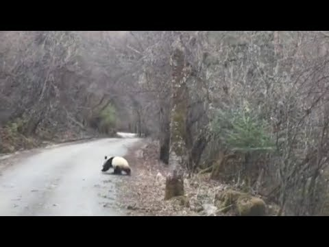 Tourists scream with joy after spotting a wild panda in SW China
