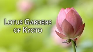 Beautiful Kyoto: Lotus Gardens in Kyoto