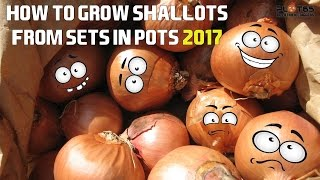 How To Grow Shallots From Sets 2017
