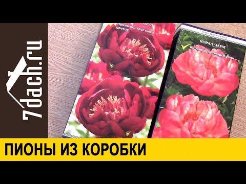 Как посадить пионы из магазина (коробки) - 7 дач