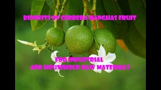 10 Benefits of Cerbera manghas Fruit for Industrial and Household Raw Materials-MAU TAU CHANNEL